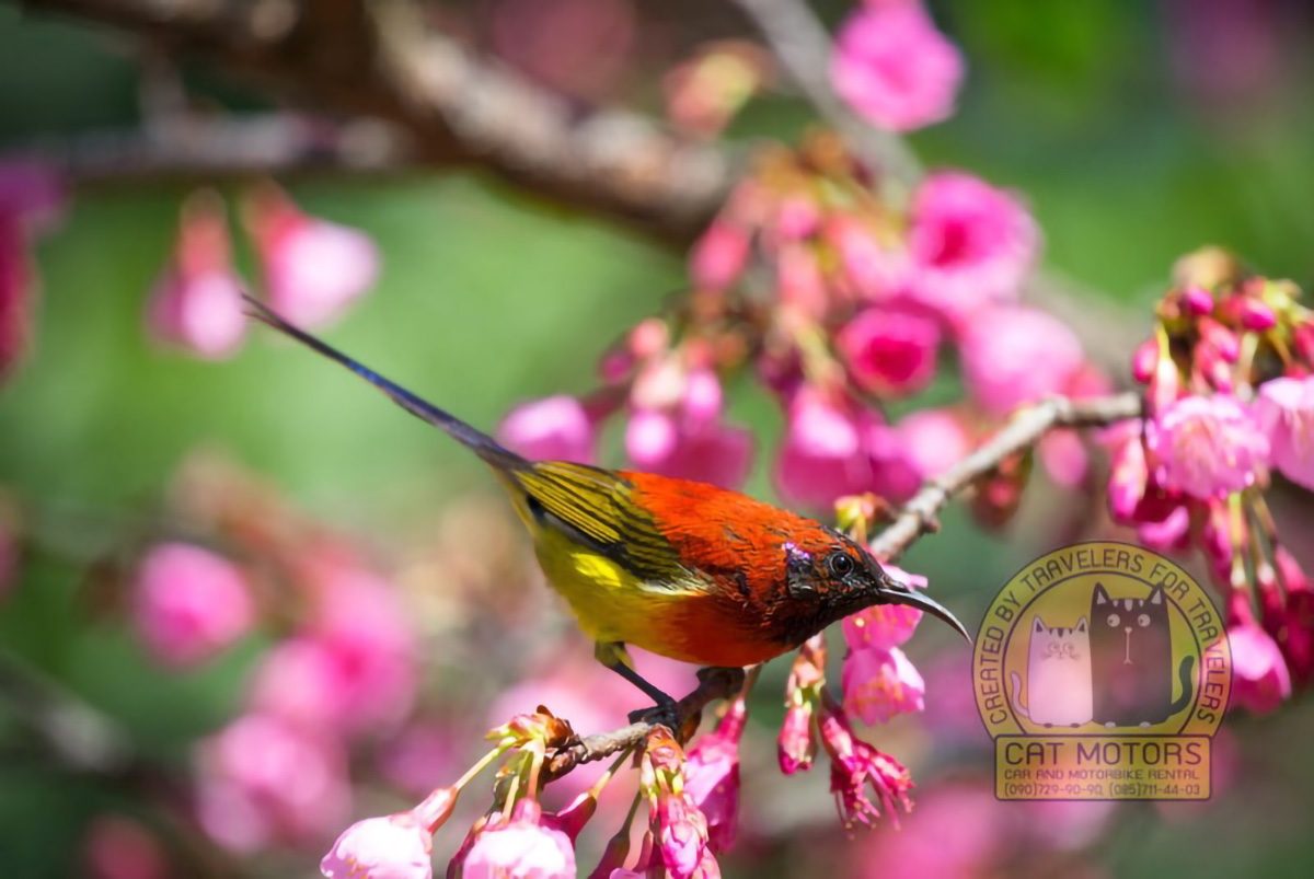 A Beautiful Small Bird In The Mountains During The Wild Himalayan Cherry Bloom At Doi Ang Khang Doi Ang Khang