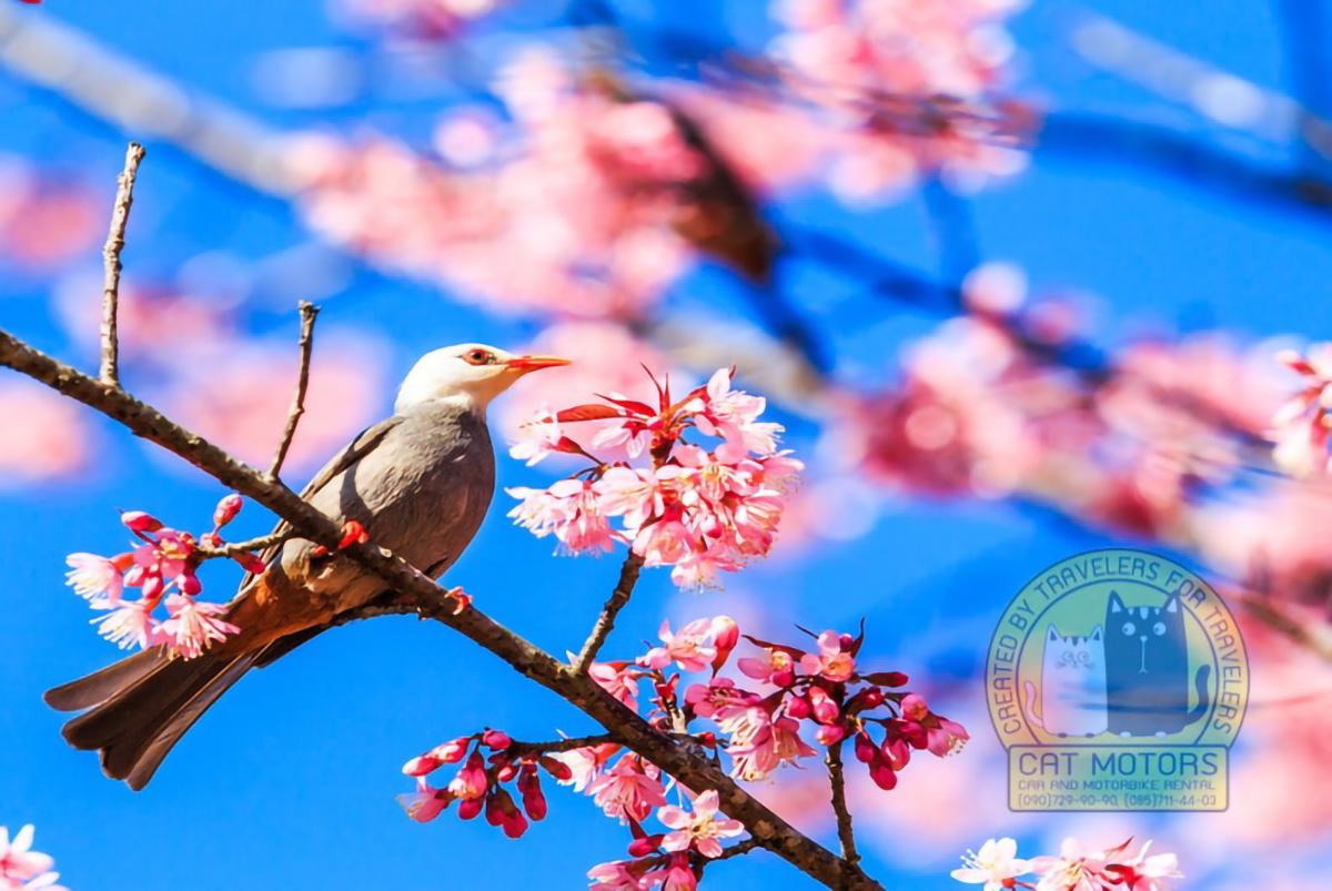 Bird On Cherry Blossom And Sakura White Headed Bulbul Doi Ang Khang