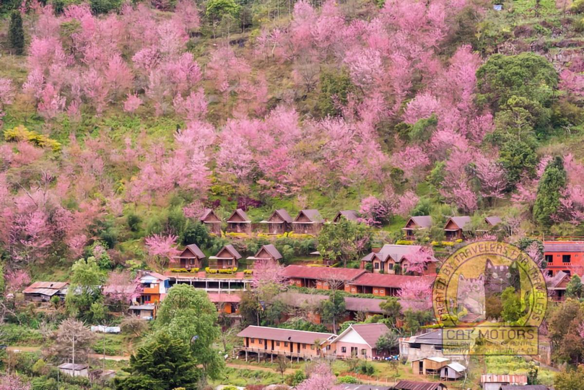 Blooming-Sakura-Trees-In-Doi-Ang-Khang-Village-Northern-Thailand