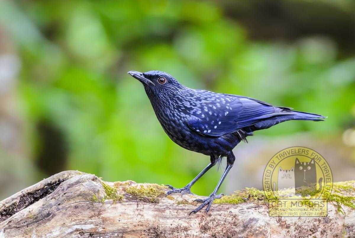 Blue Whistling Thrush Or Myophonus Caeruleus Beautiful Bird Standing On Log With Green Forest Background At Doi Ang Khang Doi Ang Khang