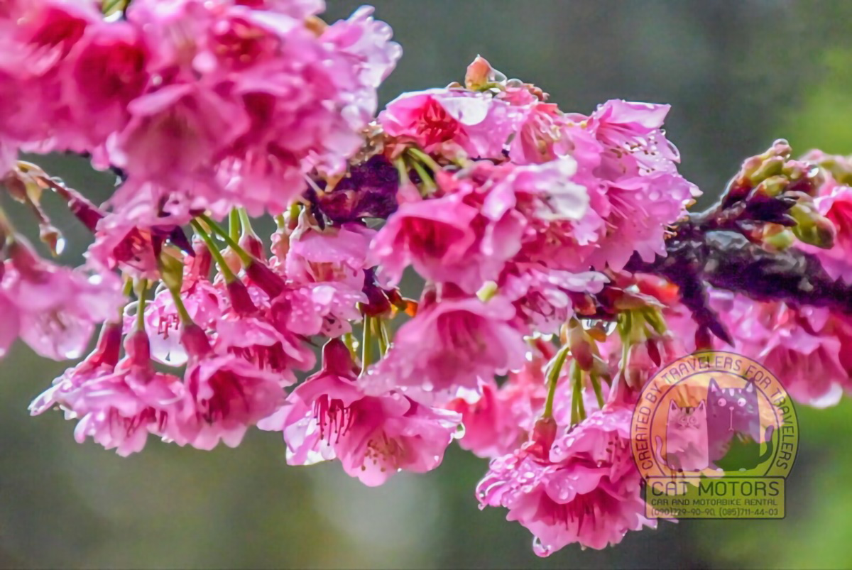 Doi-Ang-Khang-Sakura-Blooming