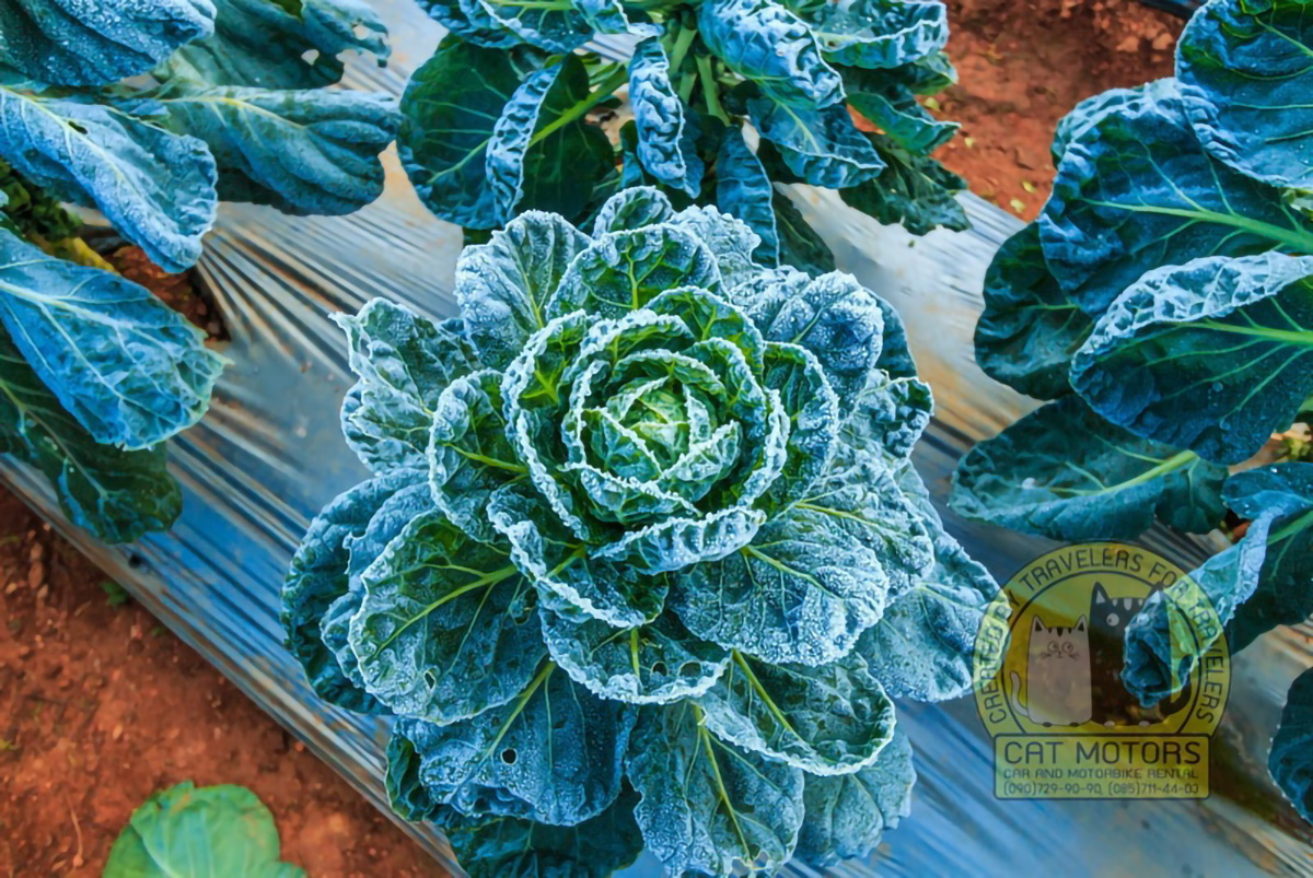 Frosted Vegetables Doi Ang Khang