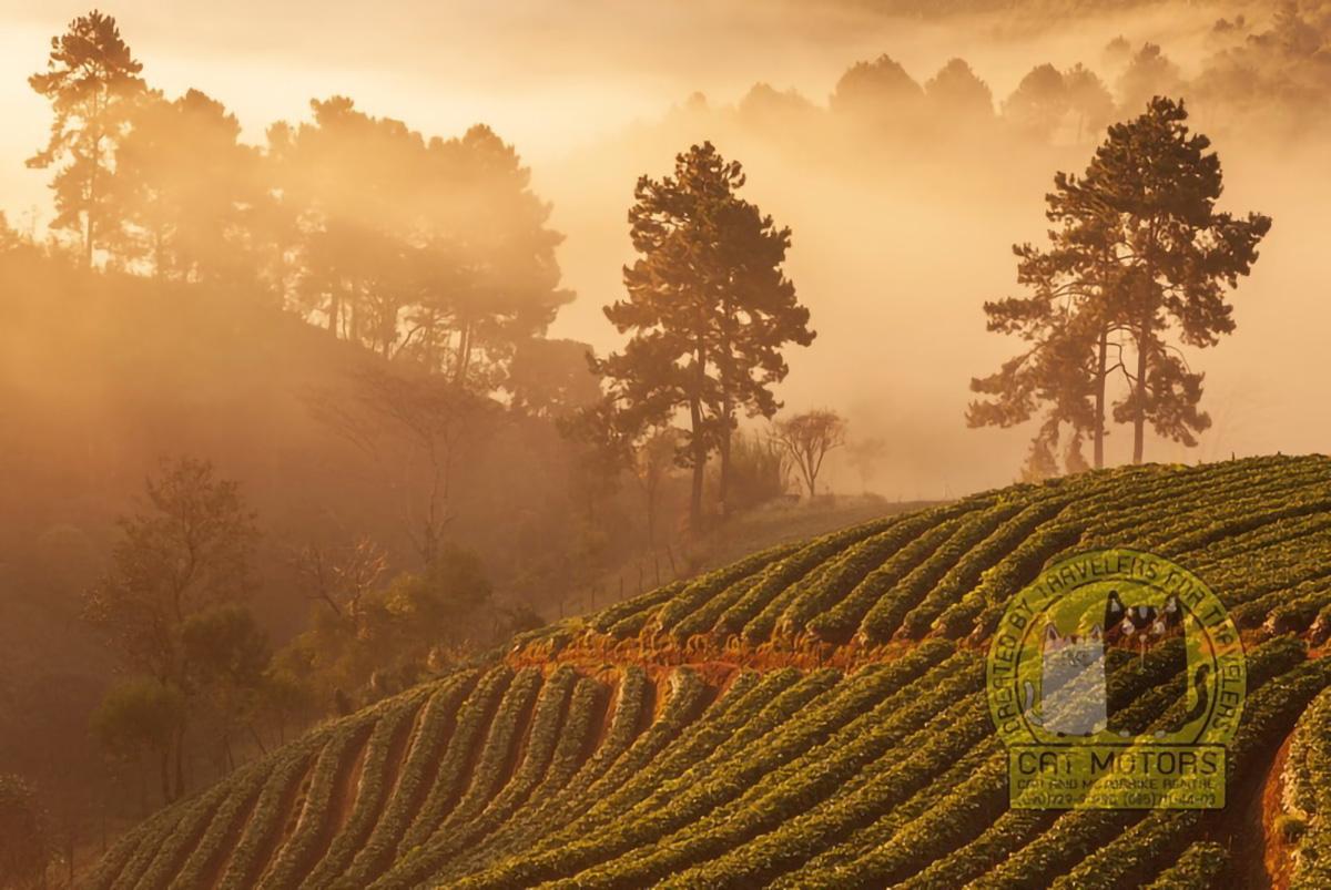 Beautiful Scenic Area At Doi Ang Khang Tea Fields
