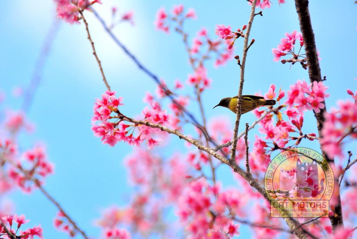Pink-Sakura-On-Doi-Ang-Khang-Chiang-Mai-Thailand