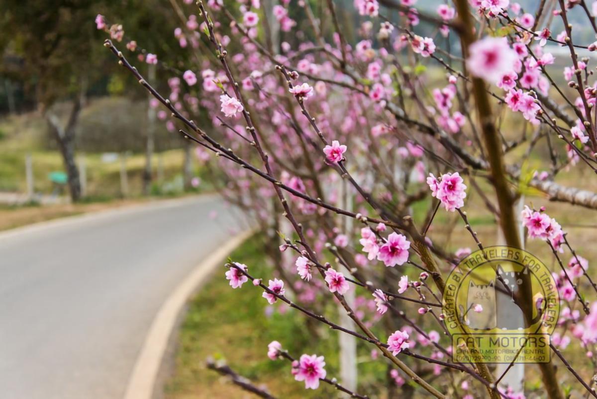 Pink-Sakura-With-Beautiful-Road-Doi-Ang-Khang-Chiang-Mai-Thailand