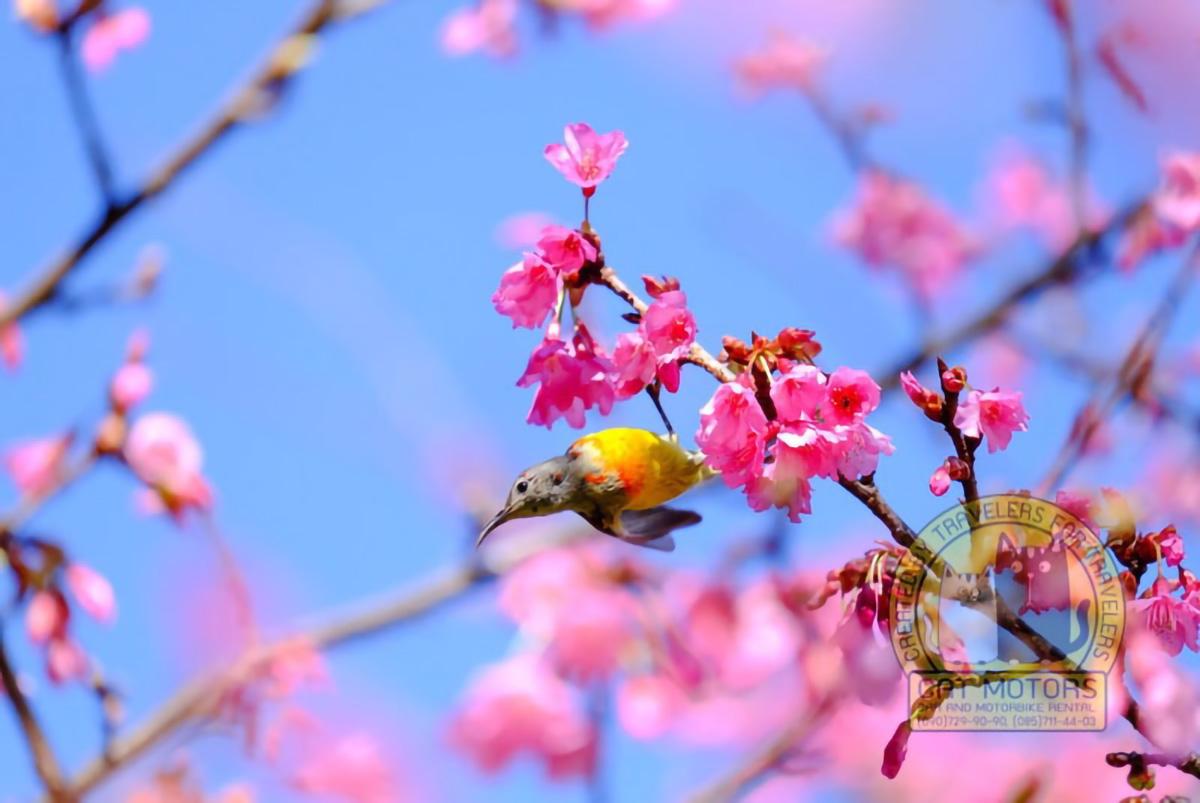 Sakura-Japanese-Or-Cherry-Blossom-And-Bird-At-Doi-Ang-Khang-National-Park-Chiang-Mai-Thailand