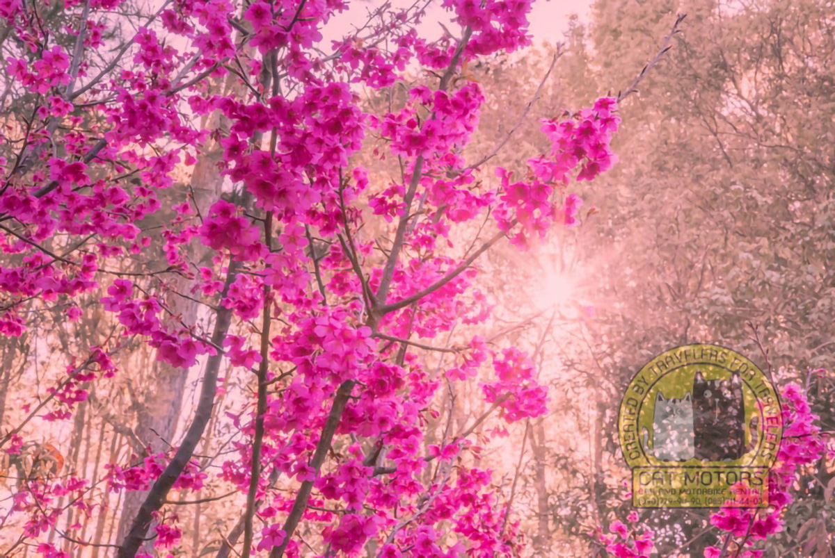 Sakuras Rising Sun Doi Ang Khang