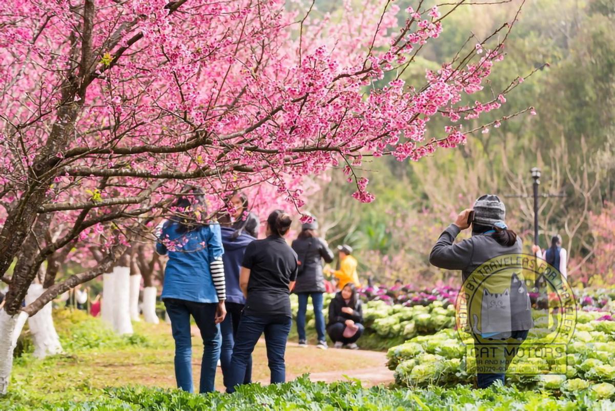 Vivid Color Of Cherry Blossom