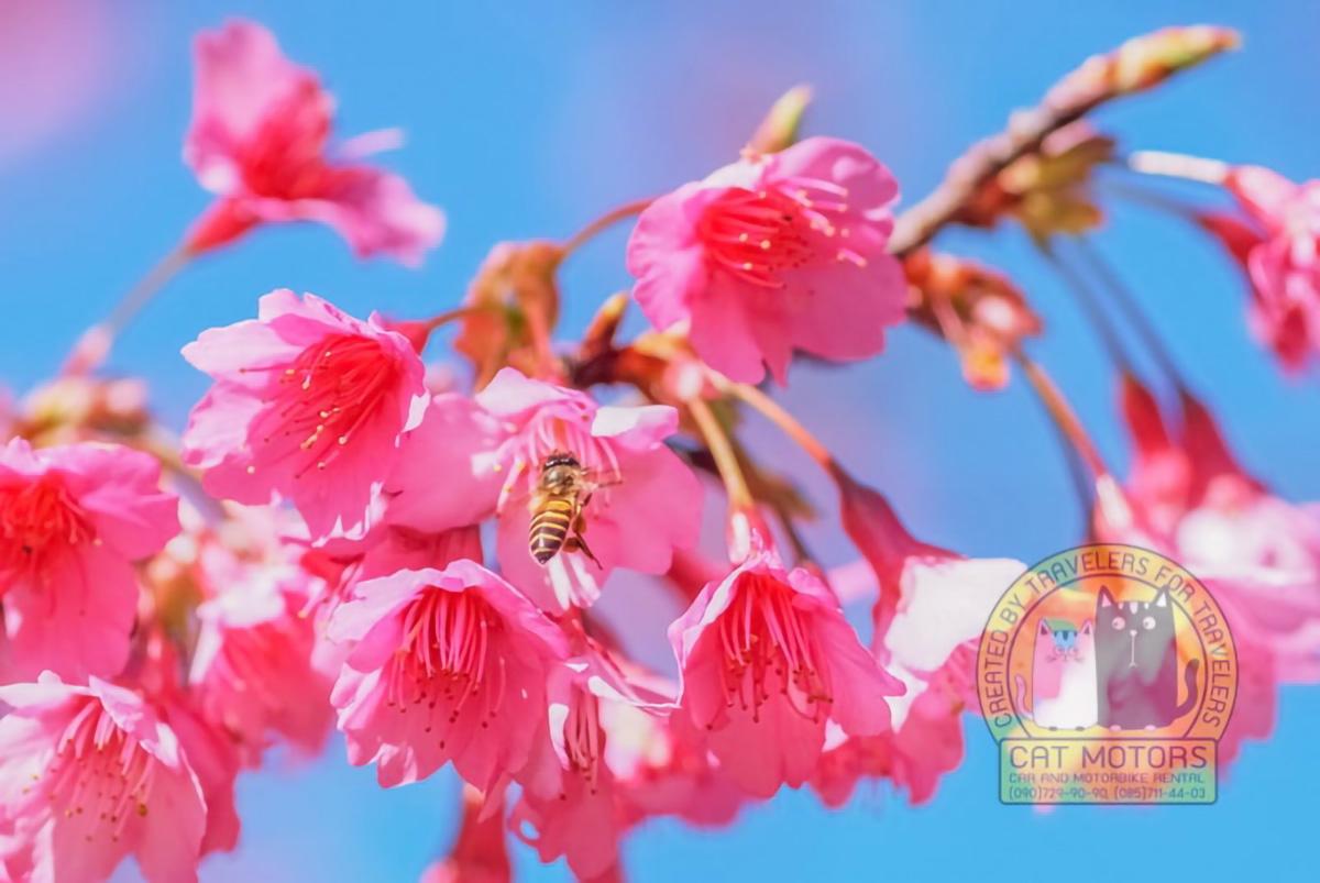Bee Flying And Feeding Sakura